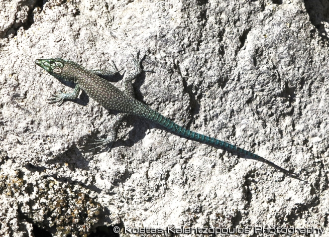 sharp-snouted rock lizard
