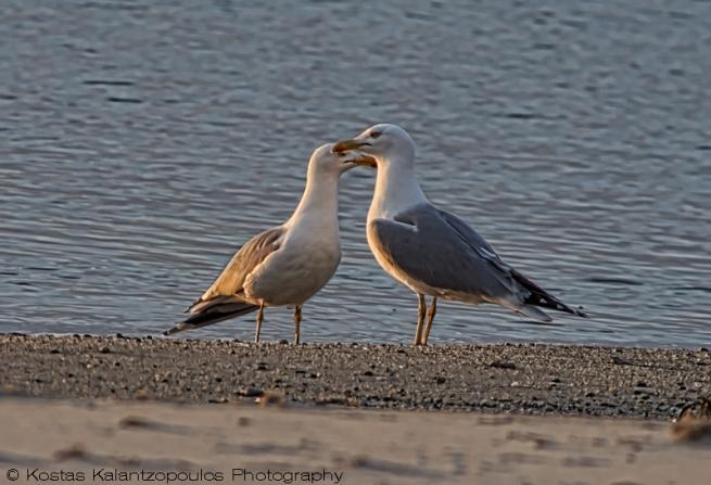 Sea Gull ove