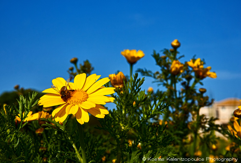 daisy-land