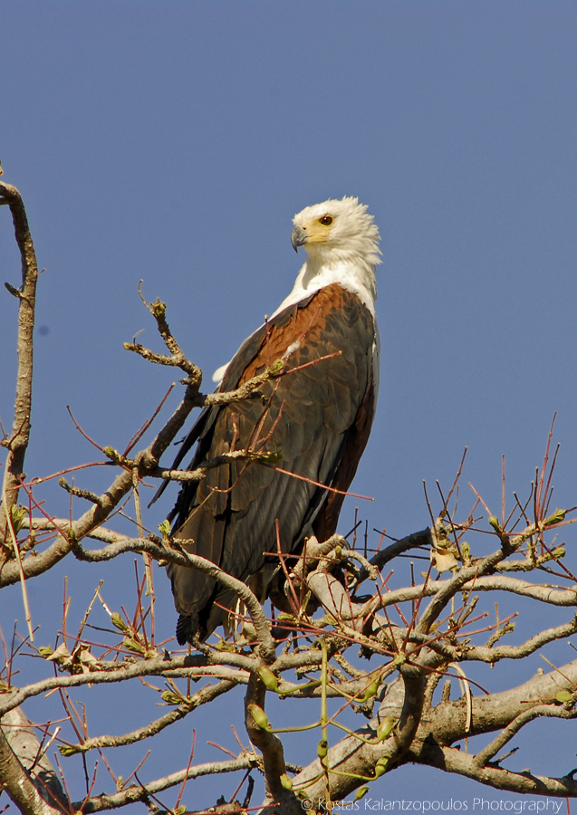 Africa's fish eagle